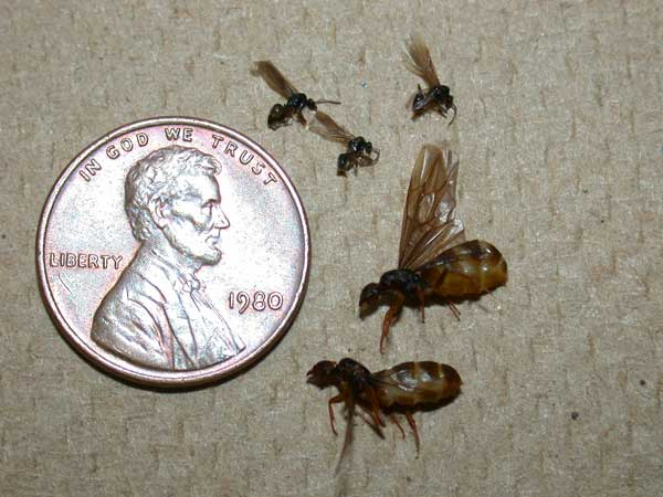 Winged Cornfield Ants