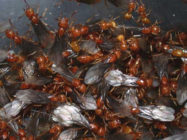 Yellow/Citronella Ants