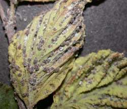 LeafcurlAphid