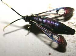 Viburnum Borer Moth