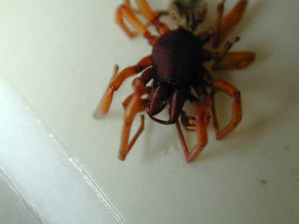 Dysdera/Sowbug Spider