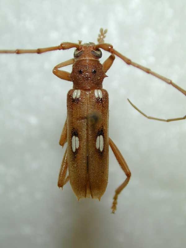 Eburia Longhorn Beetle