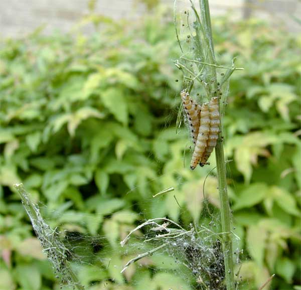 Euonymous Webworm