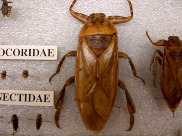 Giant-water-bug