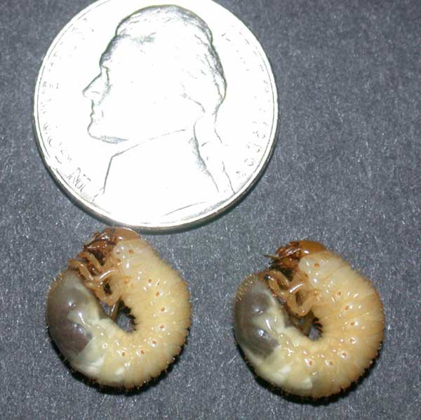 Japanese Beetle Grubs