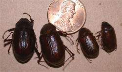 June Beetles