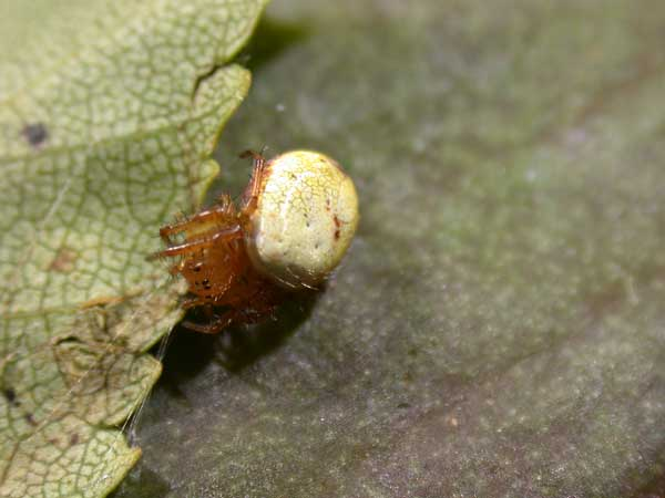 Orbweaver Araniella Spider