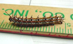 Pansy Caterpillar