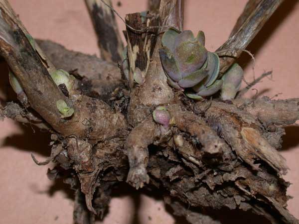 Rootweevil on Sedum