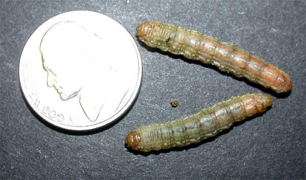 Sandhill Cutworm