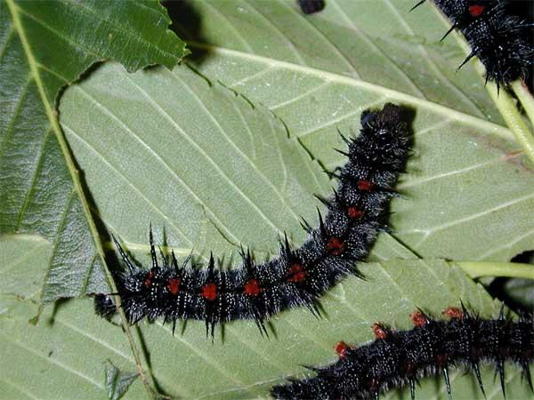 Spiny Elm Caterpillar