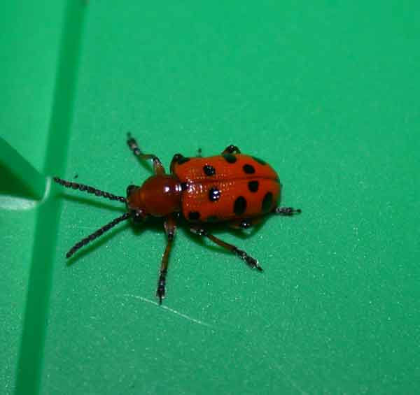Spotted Asparagus Beetle