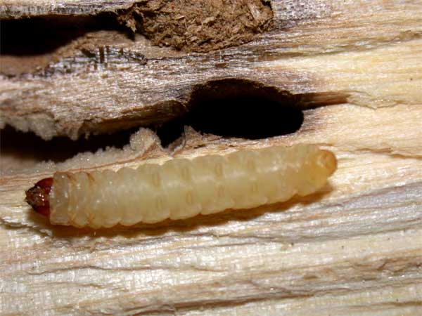 Clear Wing Borer