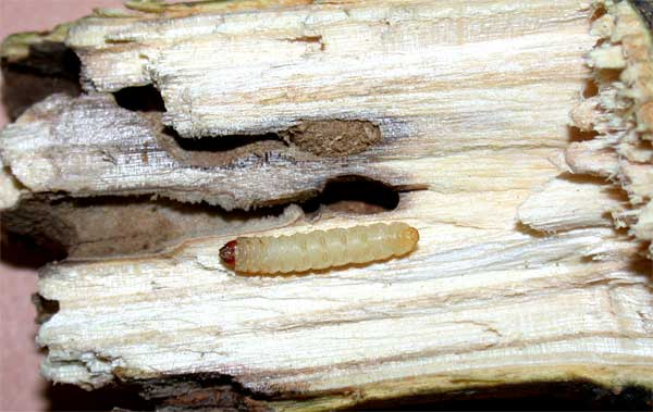 Clear Wing Ash Borer
