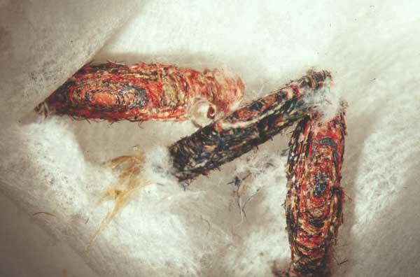 Clothes Moth Larvae