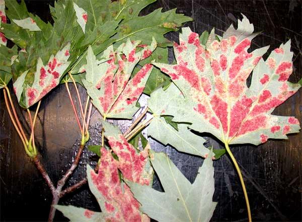 Erineum Gall on Maple