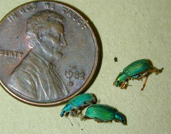 Green Imported Weevil