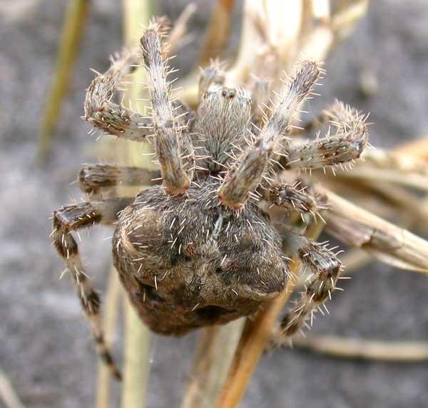 Orb Web Spider (Araneus)