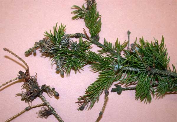 Spruce Galls