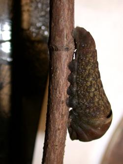Tiger Swallowtail Larvae